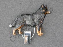 Австралийская пастушья собака держатель Чехия
